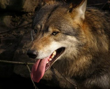 What Do Comedians and Wolves Have In Common?